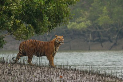 Sundarbans: Sundari and Tigers